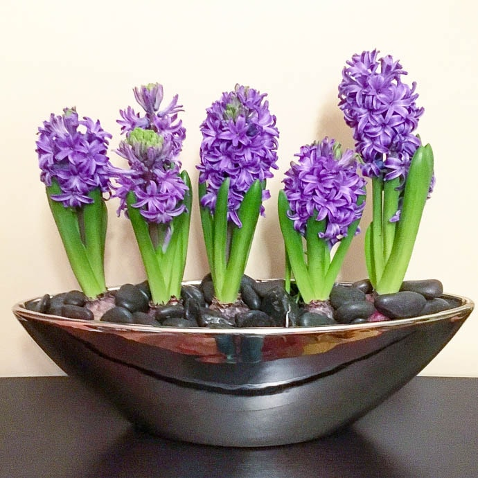 Hyacinth planter for Christmas decoration